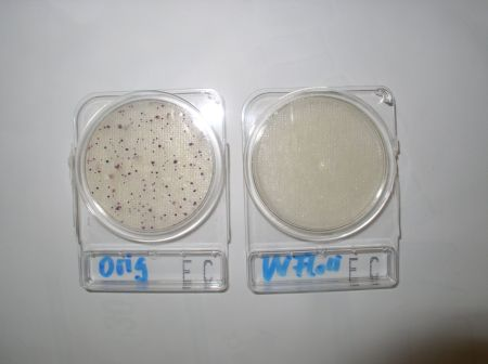 Platte links zeigt original Wasser mit E.coli und Coliforme.Platte rechts zeigt das saubereTrinkwasser ohne Bakterien